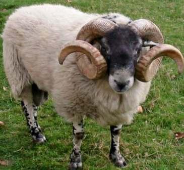 Sheep Ram Desert Bighorn Sheep Ram Ovis Canadensis Nelsoni